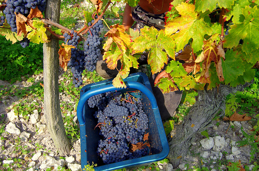 Vignes Pierre Sourdais