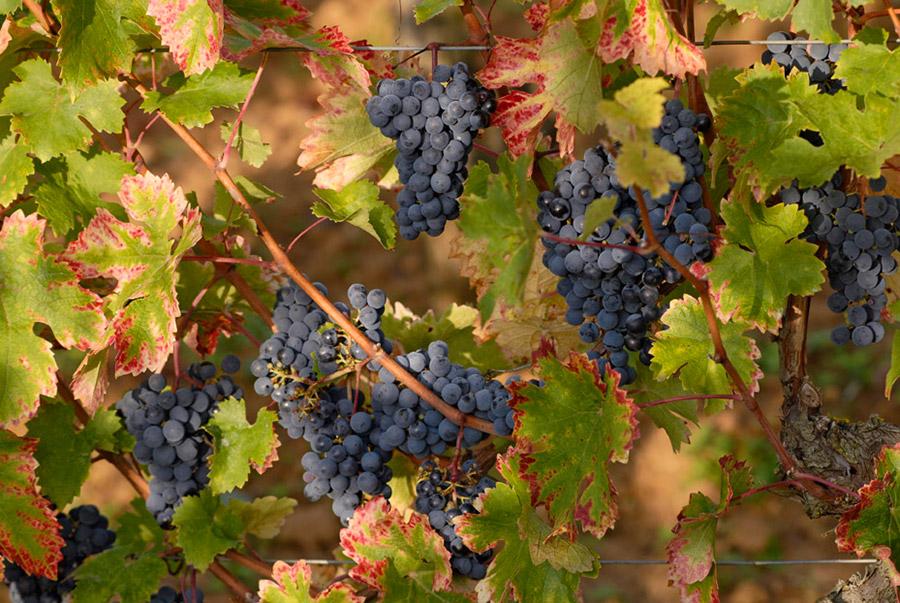 La vigne de Doulai